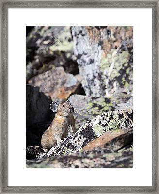 Pika Framed Print