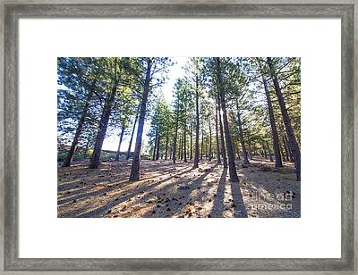 Pines In An Oregon Forest Framed Print by Twenty Two North Photography