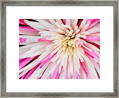 Pink Chrysanthemum Flower Isolated On Black Background. Macro  Framed Print