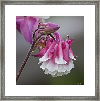 Pink Columbine Framed Print by Michael Friedman