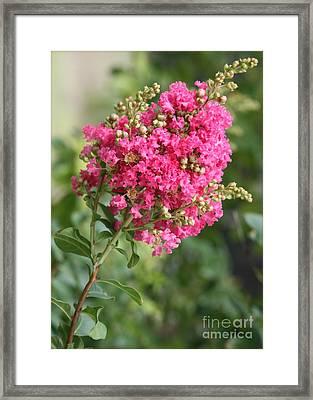 Pink Crepe Myrtle Flowers Framed Print