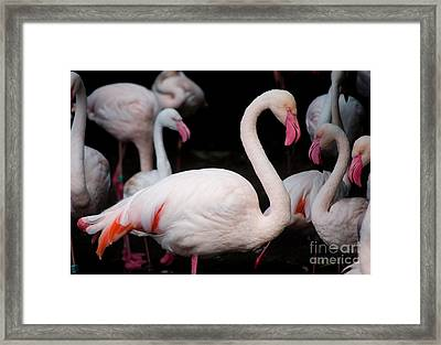 Pink Flamingos Framed Print by Sarka Olehlova