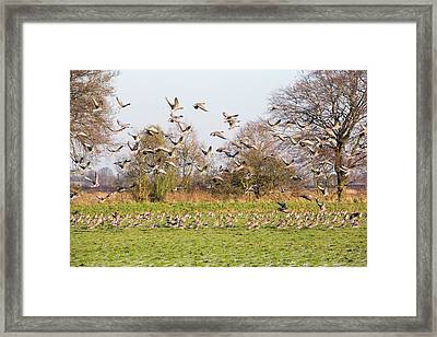 Pink Footed Geese (anser Brachyrhynchus) Framed Print by Ashley Cooper