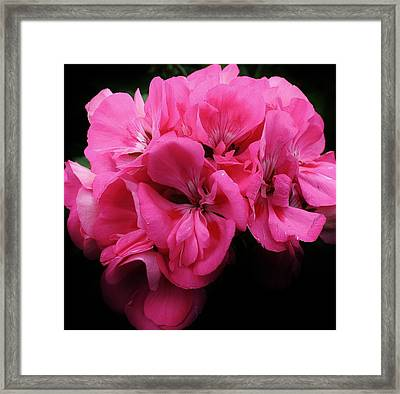 Pink Geranium Framed Print by Bruce Bley
