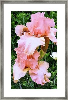 Pink Iris Framed Print by Claudette Bujold-Poirier