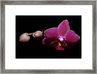 Pink Orchid Framed Print by Tommytechno Sweden