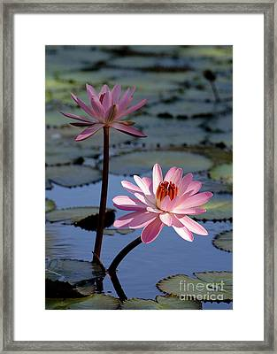 Pink Water Lily In The Spotlight Framed Print by Sabrina L Ryan