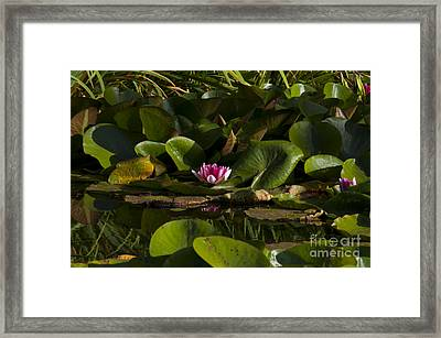 Pink Water Lily Framed Print by Mandy Judson