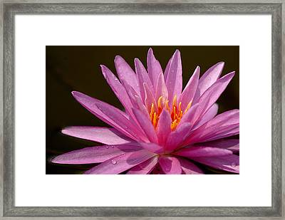 Pink Water Lily Framed Print