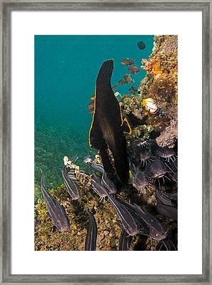 Pinnate Spadefish Framed Print by Andrew J. Martinez