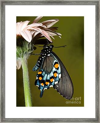 Pipevine Swallowtail Butterfly Framed Print