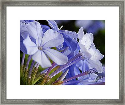 Plumbago Summer Solstice In New Orleans Louisiana Framed Print by Michael Hoard