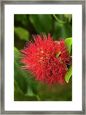 Pohutukawa Flower, Dunedin, South Framed Print by David Wall