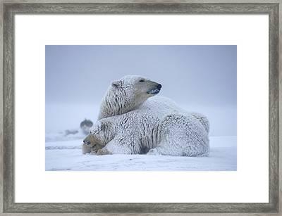 Polar Bear Sow With Cub Resting Framed Print by Steven Kazlowski