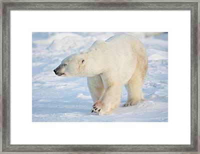 Polar Bear Ursus Maritimus Walking Framed Print by Panoramic Images