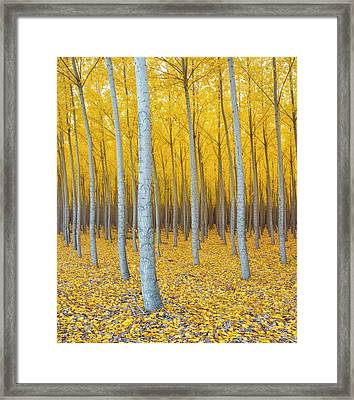 Poplar Plantation In Autumn Framed Print by Panoramic Images