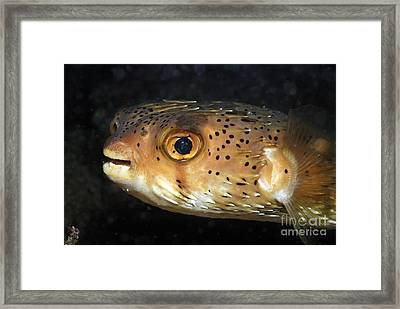 Porcupine Fish Framed Print by Sami Sarkis
