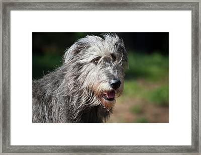 Portrait Of An Irish Wolfhound Framed Print