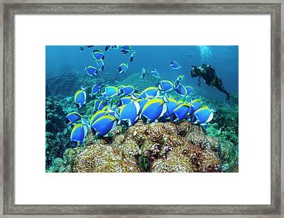 Powderblue Surgeonfish Framed Print by Georgette Douwma