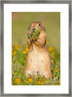 Prairie Dog Eats Plants Framed Print