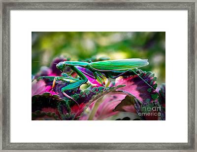 Praying Mantis Framed Print by Robert Bales