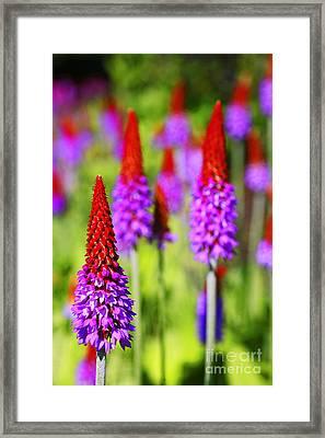 Primula Vialli Framed Print by Craig B