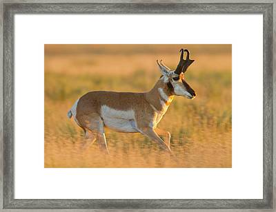 Pronghorn (antilocapra Americana Framed Print by Larry Ditto