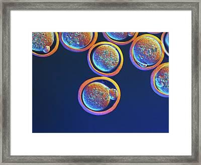 Pronuclear Egg Cells Framed Print by Martin Oeggerli/science Photo Library