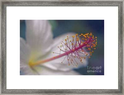 Framed Print featuring the photograph Pua Aloalo - Koki'o Ke'oke'o - Hibiscus Arnottianus - Hawaiian White Hibiscus  by Sharon Mau