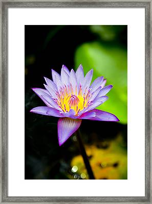 Purple Lotus  Framed Print by Raimond Klavins