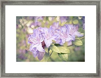 Purple Rhododendron Sparkles Framed Print by Priya Ghose
