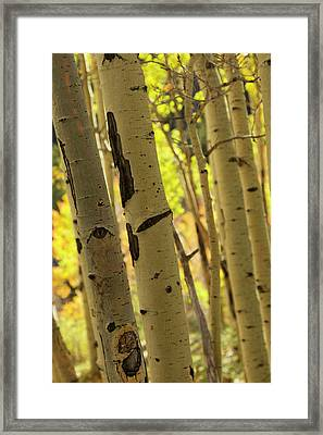 Quaking Aspen In Full Color Showing Framed Print by Maresa Pryor