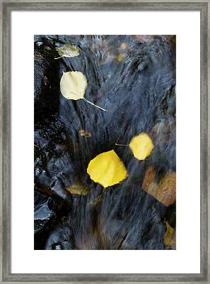 Quaking Aspen Leaves In The South Ponil Framed Print