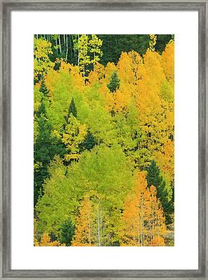 Quaking Aspens In A Fall Glow Framed Print by Maresa Pryor
