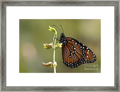 Framed Print featuring the photograph Queen Butterfly by Meg Rousher