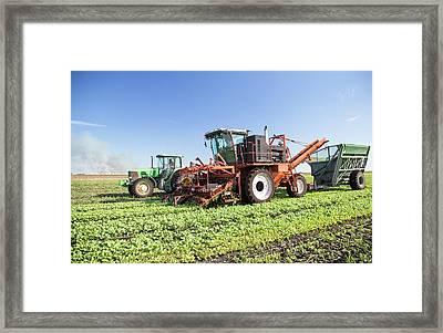 Radish Harvest Framed Print by Jim West