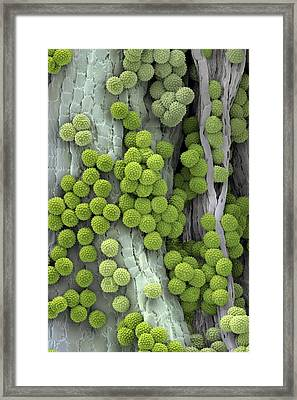 Ragweed Pollen Grains Framed Print by Martin Oeggerli/science Photo Library
