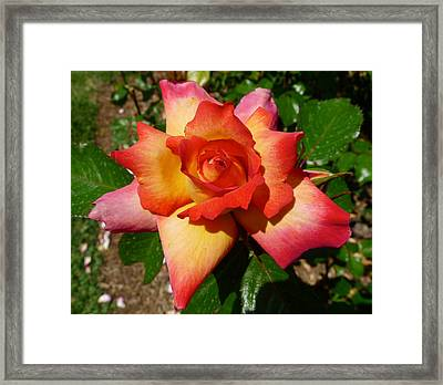 Rainbow Sorbet Rose Framed Print by Denise Mazzocco