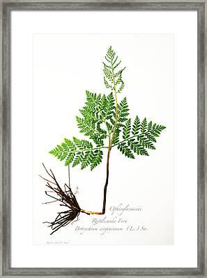 Rattlesnake Fern Framed Print