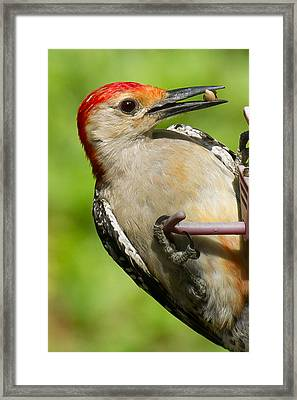Red Bellied Woodpecker Framed Print by Robert L Jackson