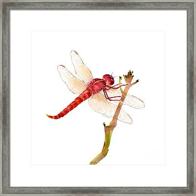 Red Dragonfly Framed Print by Amy Kirkpatrick