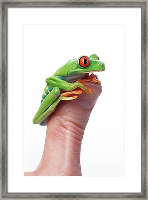 Red-eyed Tree Frog Agalychnis Callidryas Framed Print by Corey Hochachka