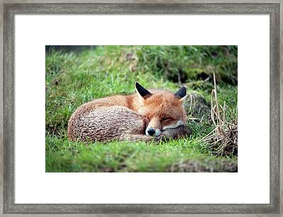 Red Fox Framed Print by Dr P. Marazzi/science Photo Library
