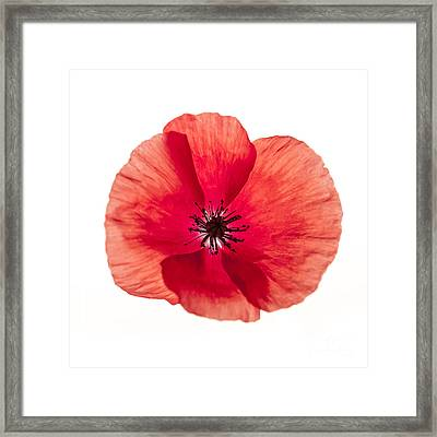 Red Poppy Flower Framed Print by Elena Elisseeva
