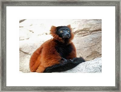 Red Ruffed Lemur Framed Print by Mark Newman