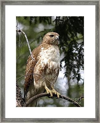 Red Tail Hawk 2 Framed Print by Peter Gray