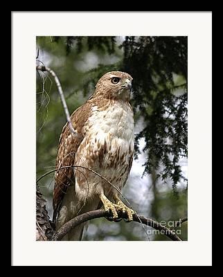 Redtailed Hawks Framed Prints