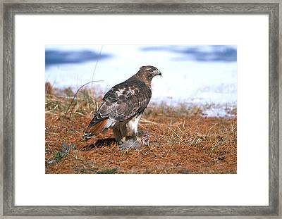 Red-tailed Hawk Framed Print by Paul J. Fusco