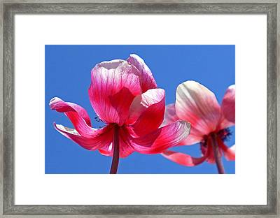 Red White And Blue Framed Print by Rona Black