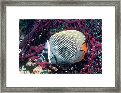 Redtail Butterflyfish On A Reef Framed Print by Georgette Douwma